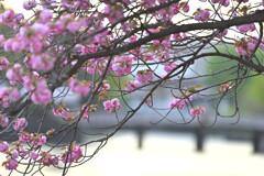皇居の桜(竹橋付近)3