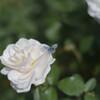 薔薇(旧古河庭園)4