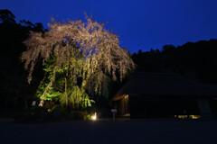 高麗神社のしだれ桜