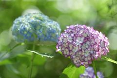 紫陽花(明月院にて)