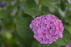 紫陽花9(上野公園)