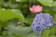 紫陽花11(上野公園)
