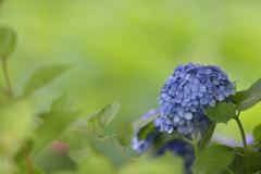 紫陽花12(上野公園)