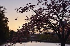 皇居の桜(竹橋付近)4