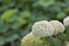 紫陽花10(上野公園)