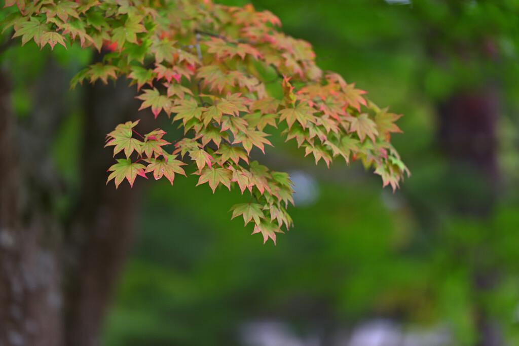 色づく紅葉4