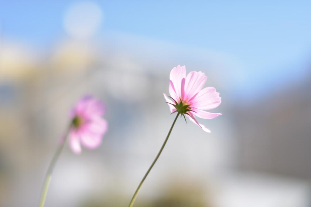 秋桜2020