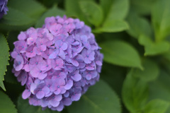 紫陽花3(上野公園)