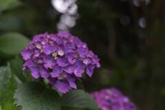目黒不動尊の紫陽花