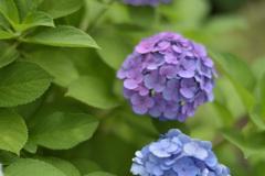 紫陽花6(上野公園)