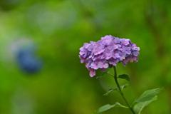 紫陽花(三千院にて)