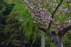 皇居の桜(竹橋付近)2