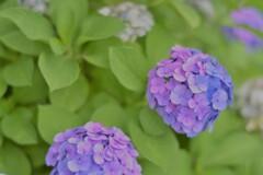 紫陽花8(上野公園)