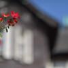 秋薔薇(旧古河庭園)8