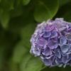 紫陽花7(上野公園)