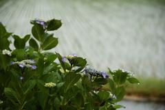 梅雨を楽しむ1