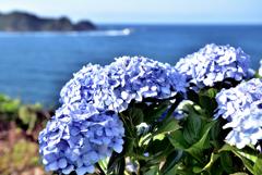 潮騒と紫陽花1