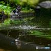 サンコウチョウ水浴び