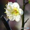 緑萼梅ー2