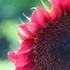 紅い向日葵