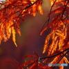 ラクウショウ(落羽松)の紅葉ー2