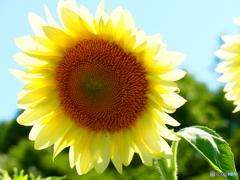 向日葵-5 ホワイトムーン