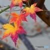 紅葉の彩りー3
