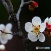 白梅咲き始めるー1
