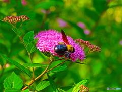 シモツケにクマバチ