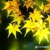 吉城園の黄葉