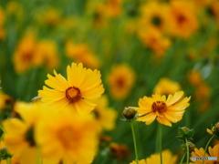 黄色の群生