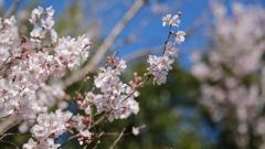 古都の庭園の桜