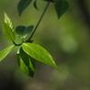 蝋梅の新芽
