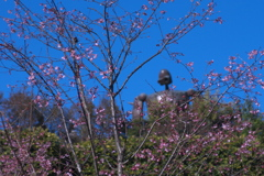 ロボットが見つめる桜