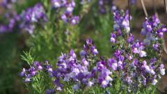 可憐な紫の花