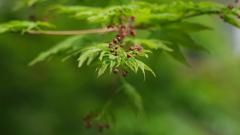 楓の新芽 2
