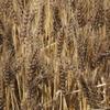 再びの 麦