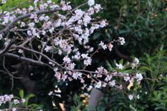 桜 ですよね
