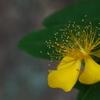黄色い花は苦手です