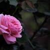 一人咲く薔薇