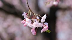 民家園の枝垂桜