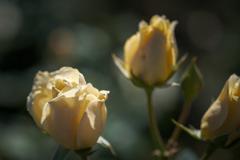 神代植物園のバラ 2