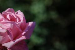 神代植物園のバラ 3