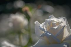 神代植物園のバラ 4