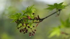 楓の新芽 1