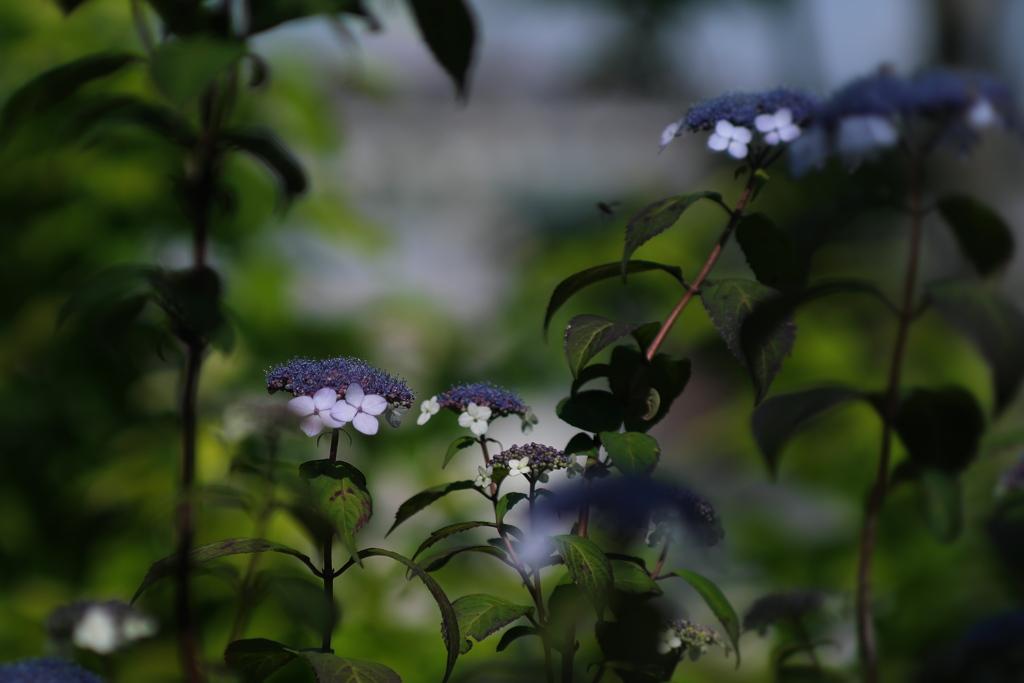 小さな紫陽花
