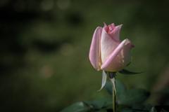 神代植物園のバラ 1