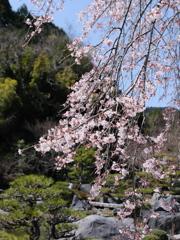 奥院の枝垂れ桜