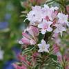 薄ピンクのかわいい花