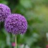 紫のネギぼうず